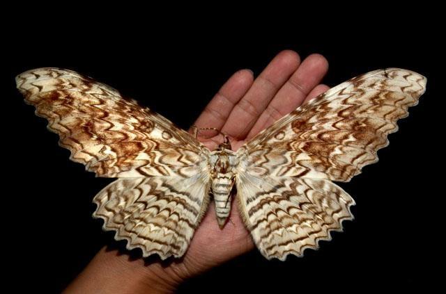 Семейство совки (Noctuidae)