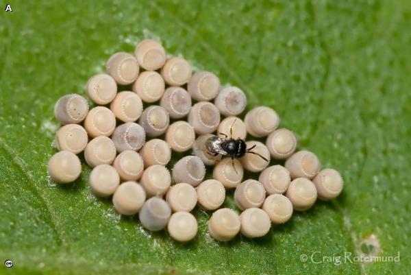 Семейство сцелиониды (Scelionidae)