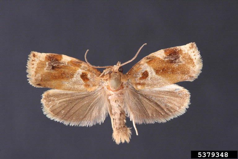 Семейство листовертки (Tortricidae)