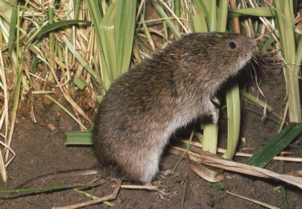 Полёвка-экономка, или крысоголовая полёвка (Alexandromys oeconomus)