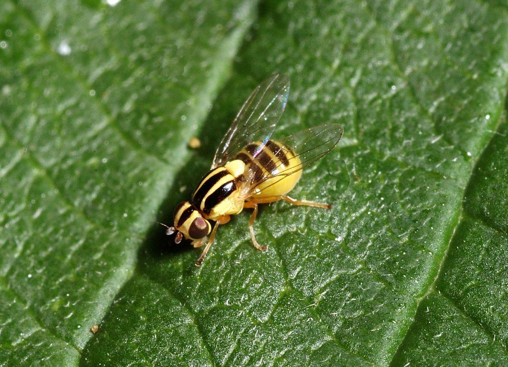 Семейство злаковые мухи, или зеленоглазки (Chloropidae)