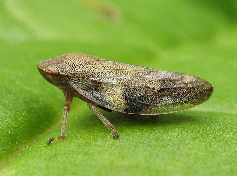 Семейство пенницы (Aphrophoridae)
