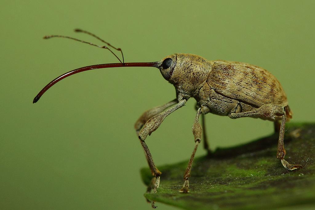 Жуки долгоносики (Curculionidae)