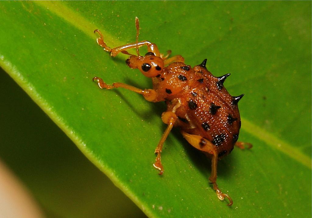 Жуки трубковерты (Attelabidae)