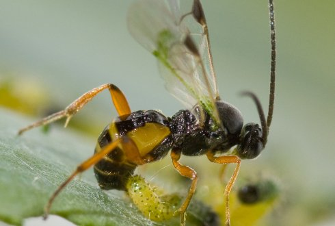 Семейство бракониды (Braconidae)