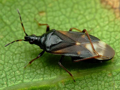 anthocoris_confusus_2
