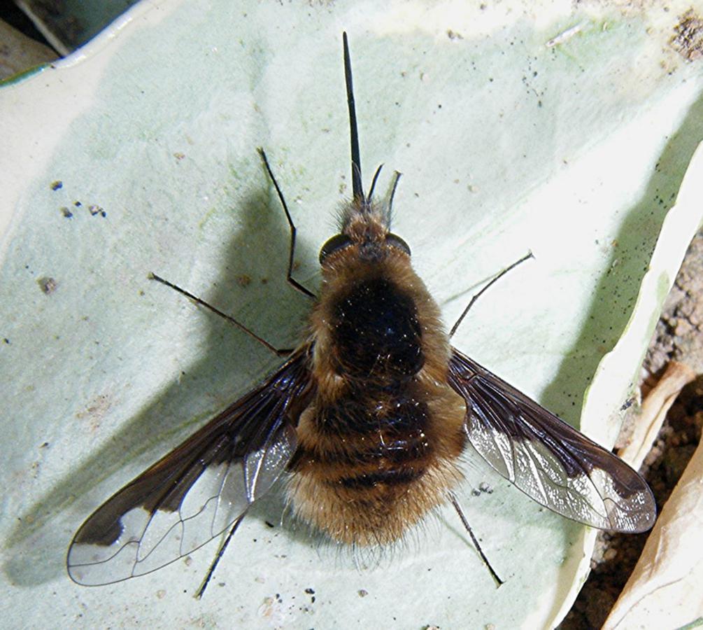 Семейство жужжала (Bombyliidae)