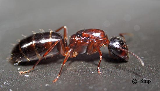 Подсемейство настоящие, или безжалые, муравьи (Formicinae)
