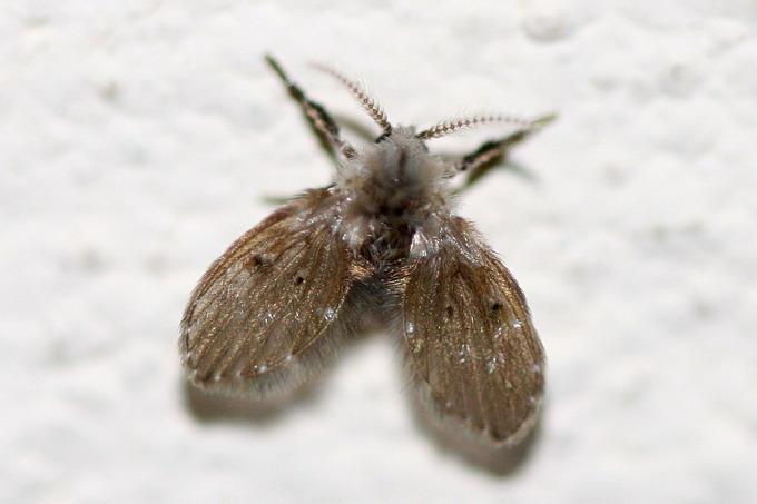 Семейство бабочницы (Psychodidae)