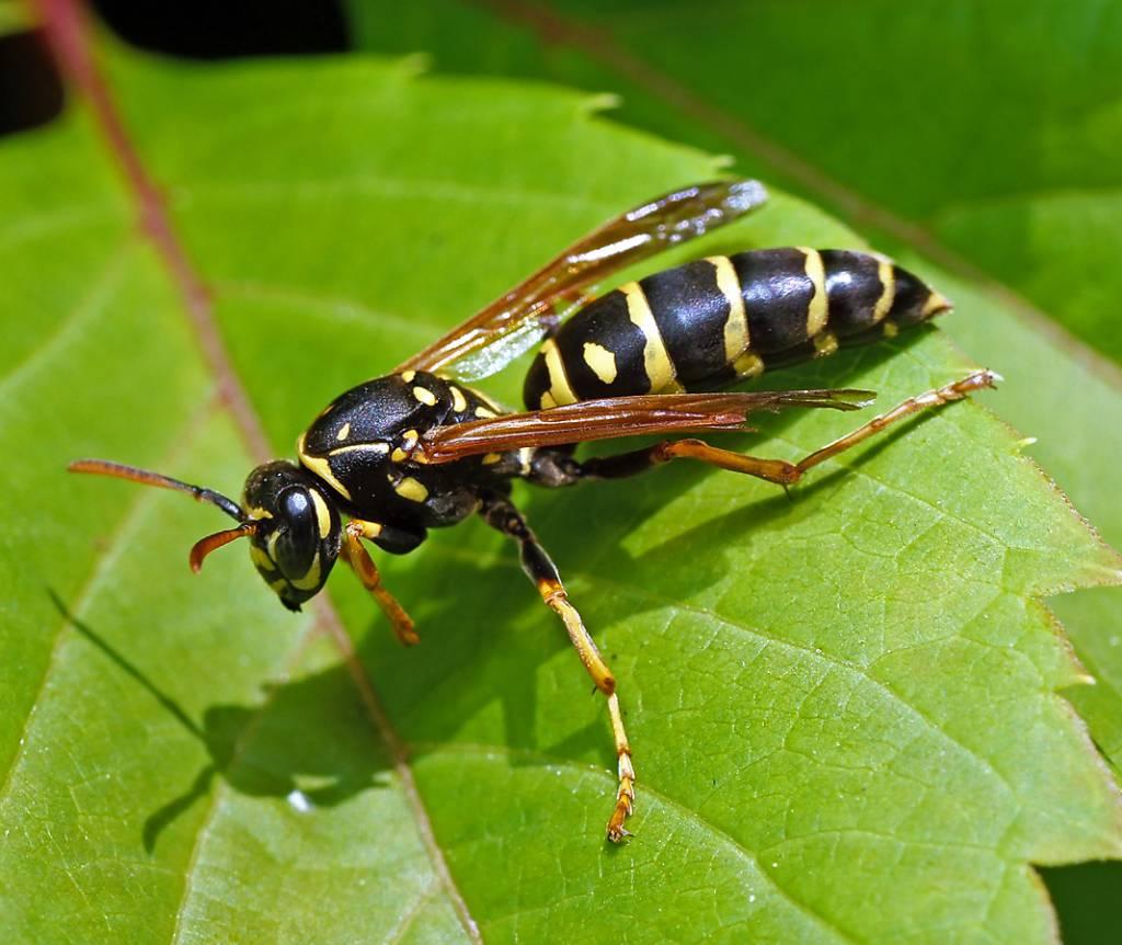 Подсемейство осы-полисты (Polistinae)