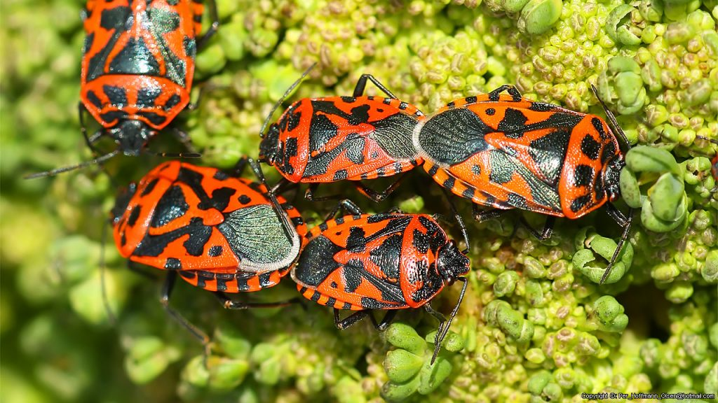Отряд полужесткокрылые, или Клопы (Heteroptera, или Hemiptera)