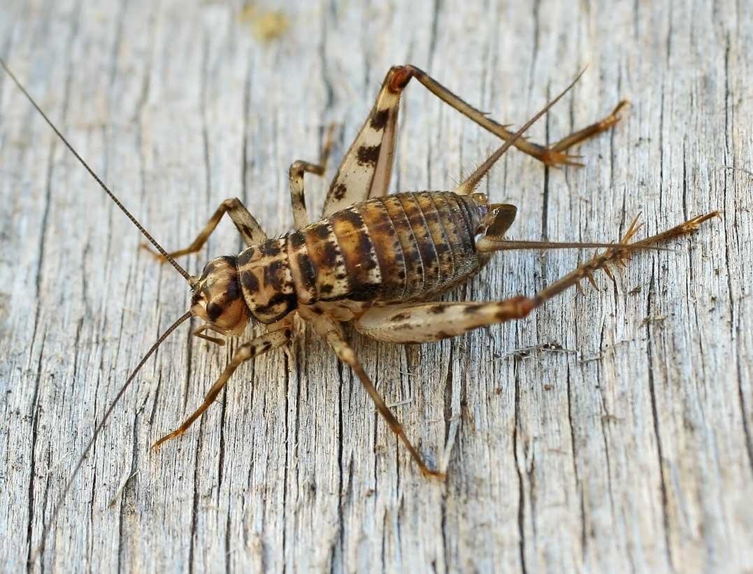 Семейство настоящие сверчки (Gryllidae)