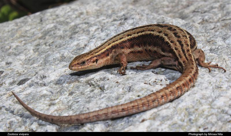 Ящерица живородящая (Zootoca vivipara)