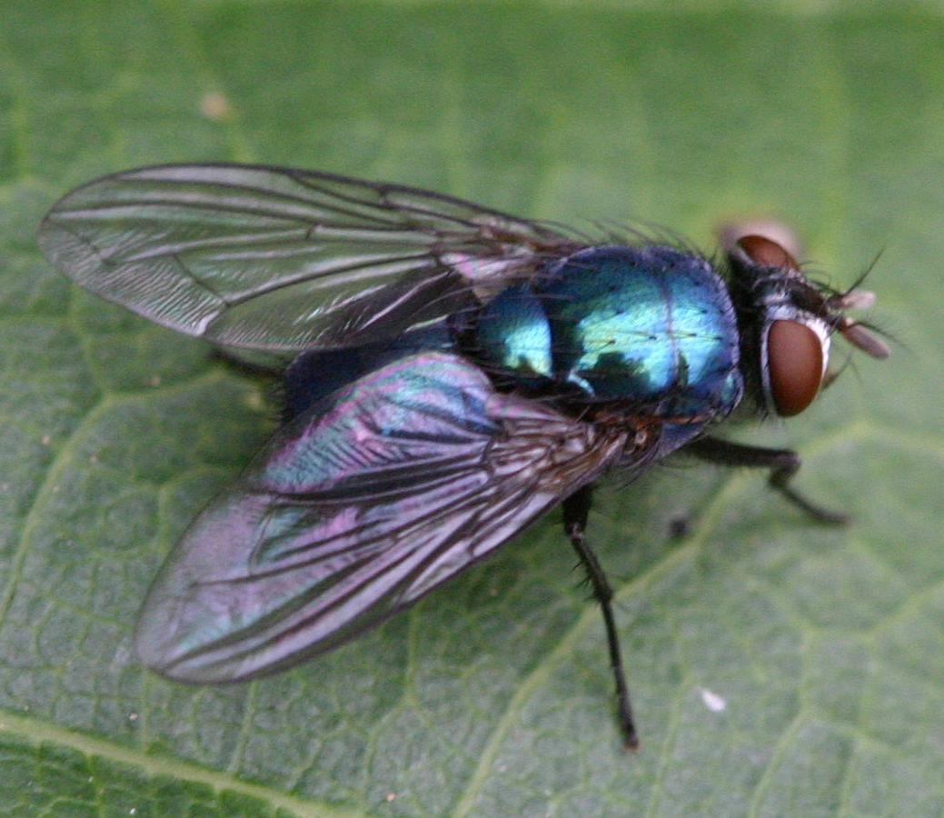 Семейство падальницы, или синие мясные мухи (Calliphoridae)
