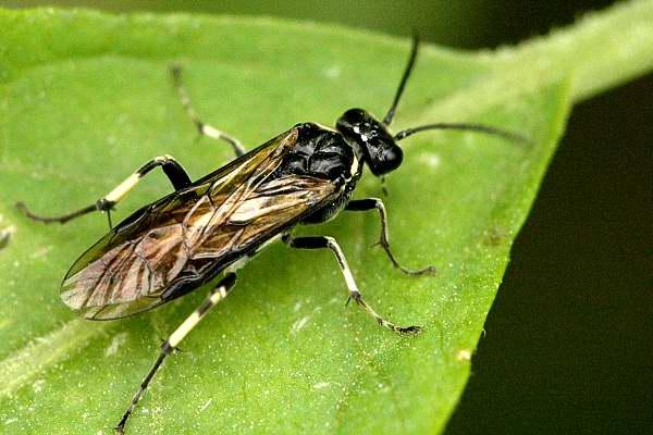Семейство настоящие пилильщики (Tenthredinidae)