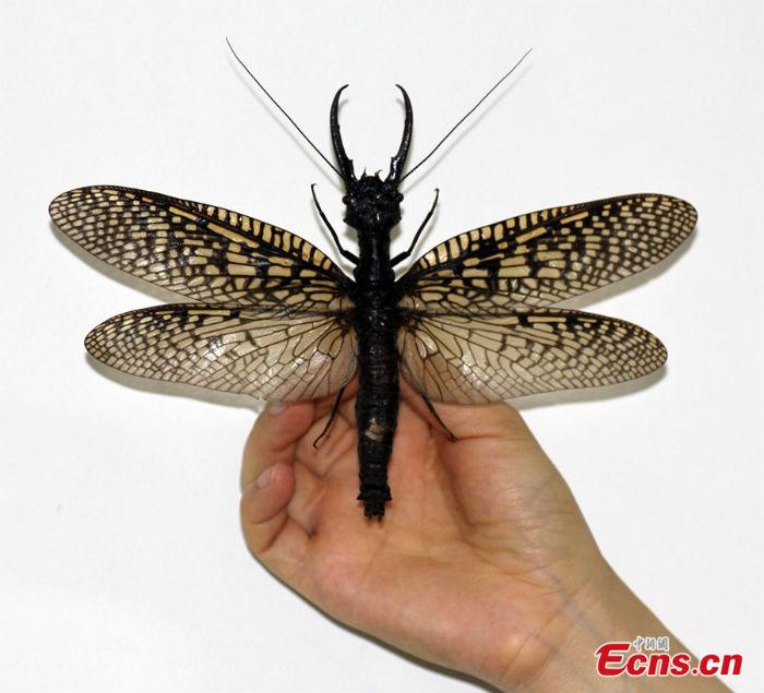 Отряд большекрылые, или вислокрылки (Megaloptera)