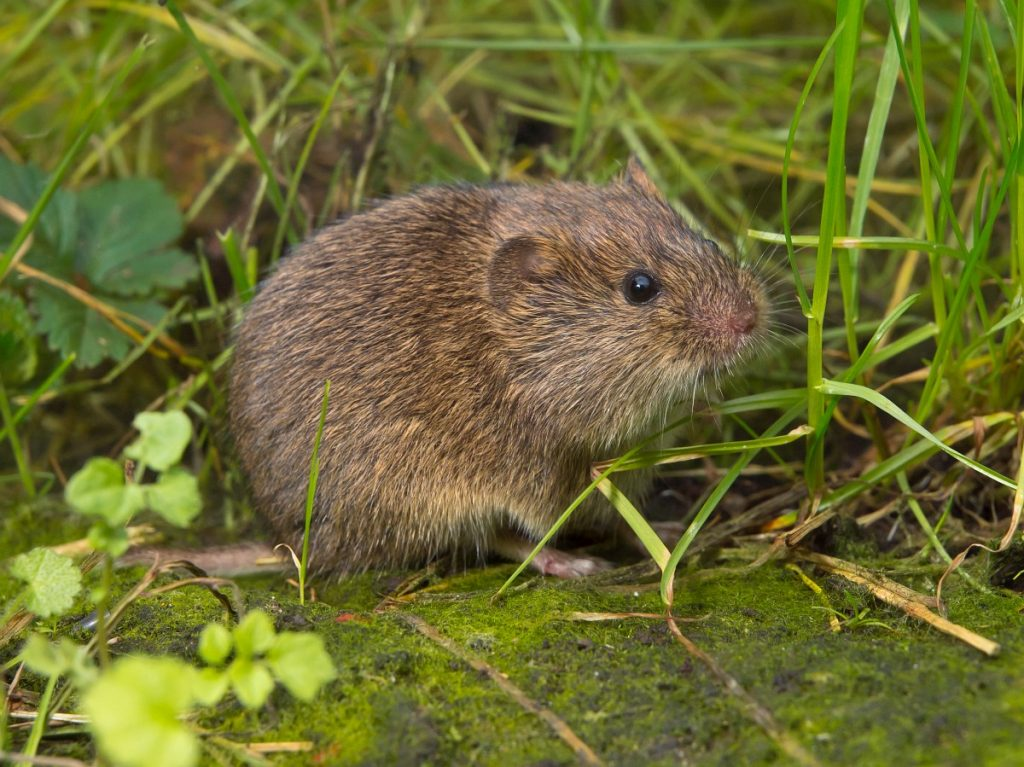 Vield vole (Microtus agrestis) is looking in camera