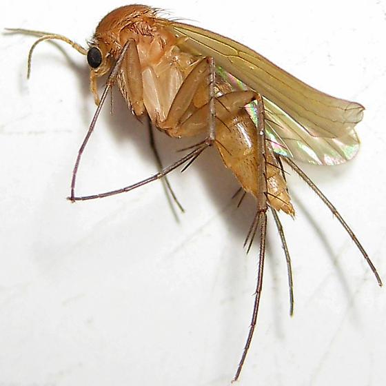 Семейство грибные комары, или гриболюбы (Mycetophilidae)