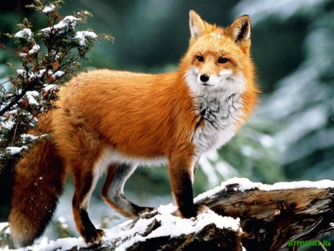 Обыкновенная лисица (Vulpes vulpes)