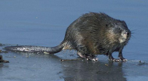Ондатра, или мускусная крыса (Ondatra zibetica)