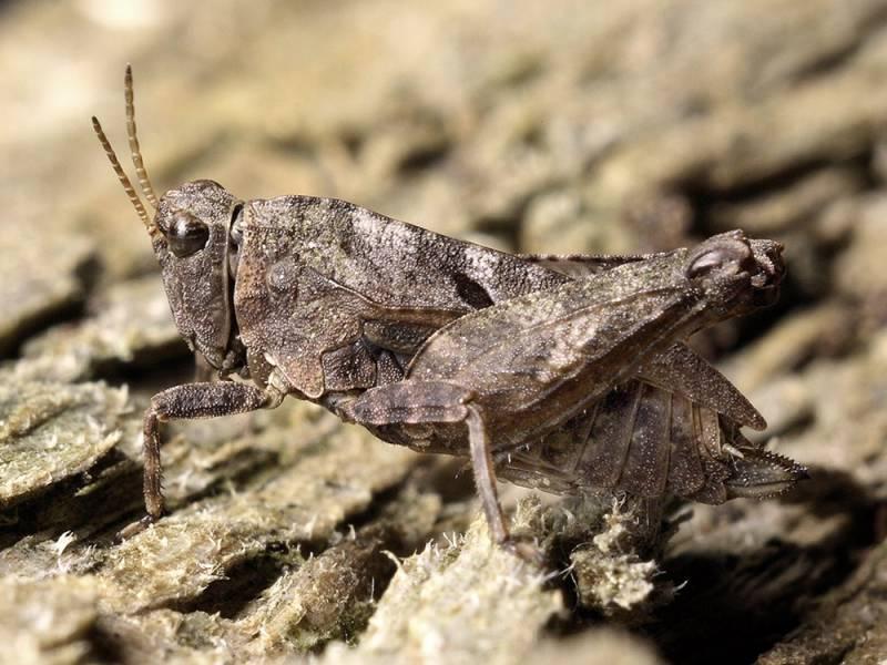 Надсемейство тетригидовые или прыгунчиковые (Tetrigoidea)