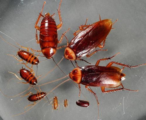 Отряд тараканы (Blattodea)