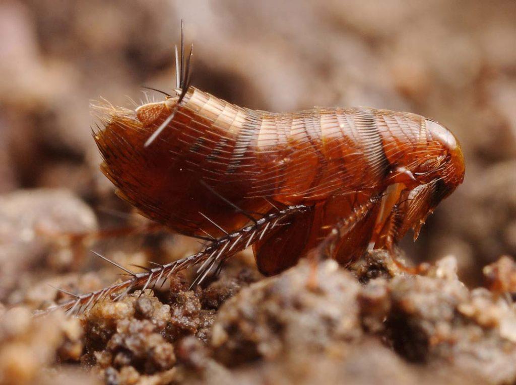 Отряд блохи (Siphonaptera, или Aphaniptera)
