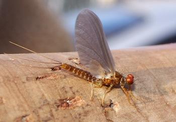 Семейство двухвостые поденки (Baetidae)