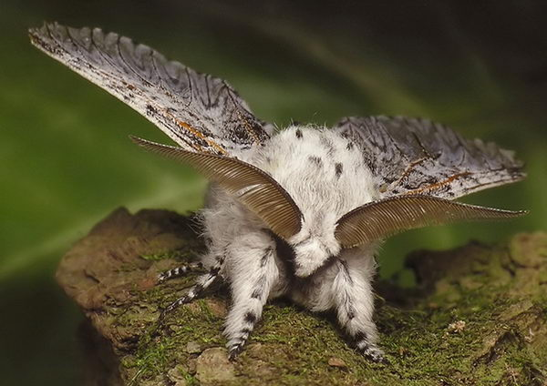 Семейство хохлатки (Notodontidae)