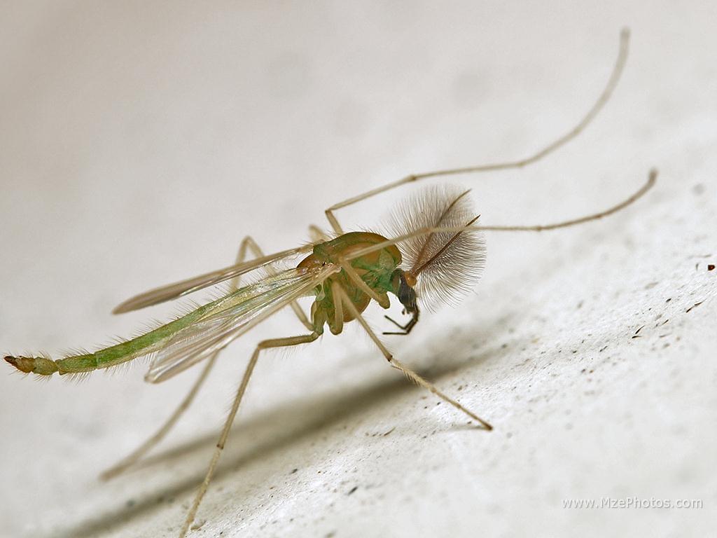 Семейство звонцы (Chironomidae)