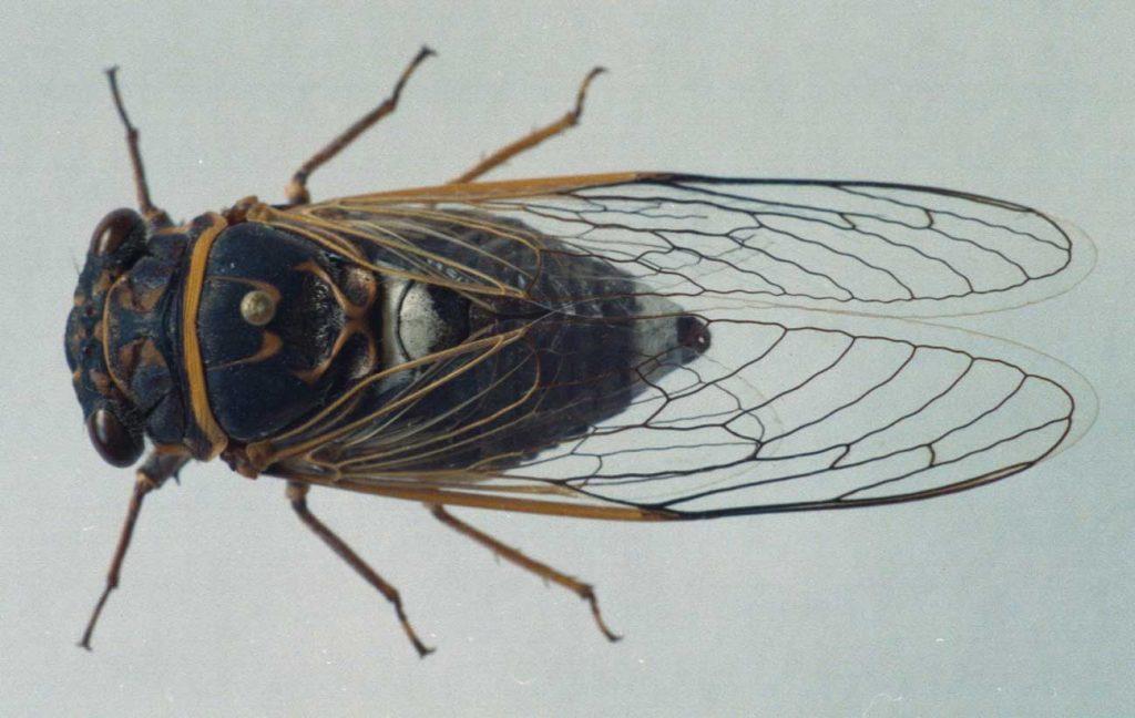 Отряд равнокрылые (Homoptera)