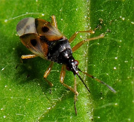 common-flower-bug-anthocoris-nemorum-front-view