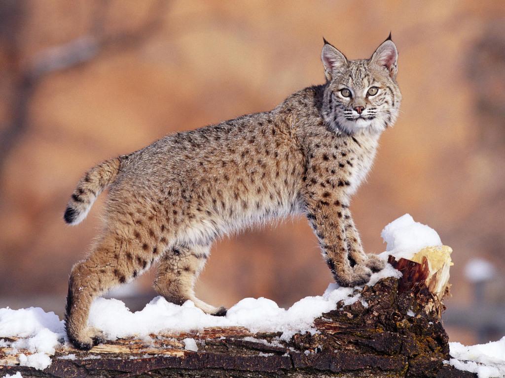 Рысь (Lynx lynx)