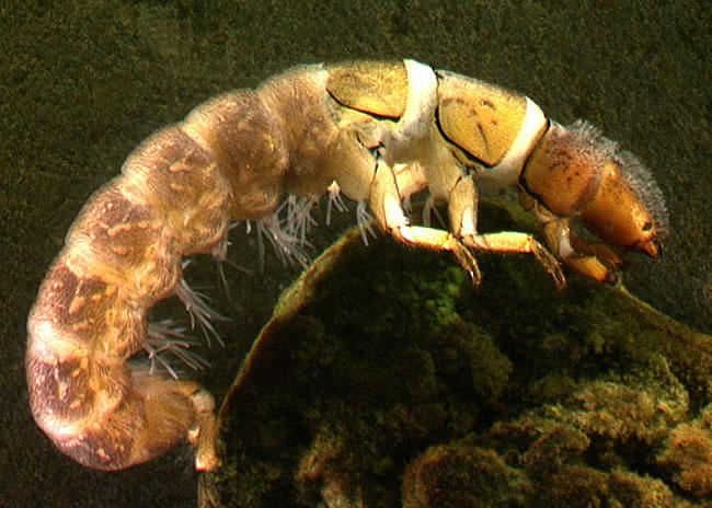 Семейство тенетные ручейники (Hydropsychidae)