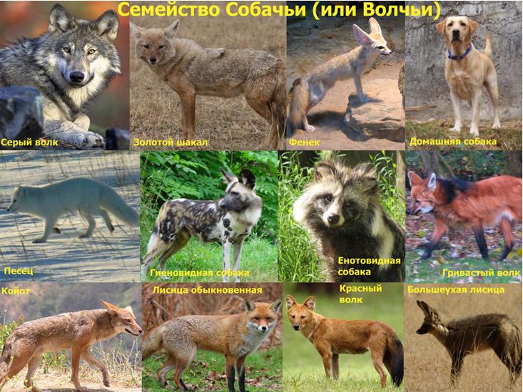 Семейство псовые (Canidae)