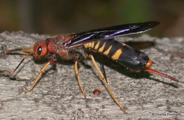 Семейство рогохвосты (Siricidae)