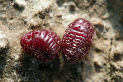 Семейство кошенили (Dactylopiidae)