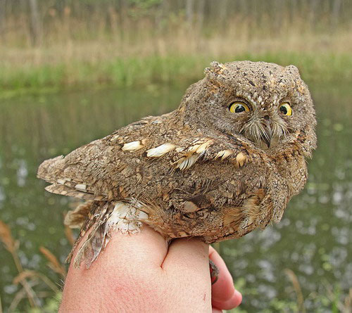 Сплюшка (обыкновенная совка)