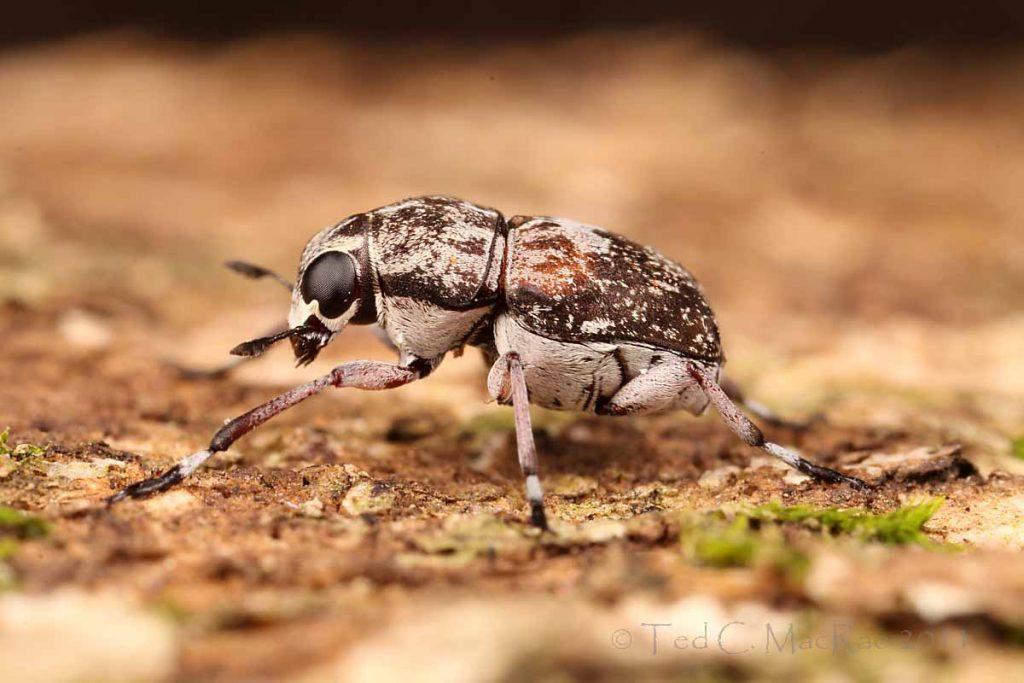 Жуки ложнослоники (Anthribidae)