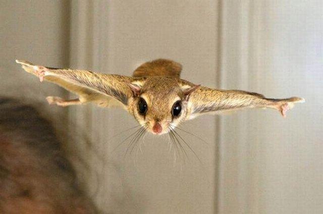 Летяга (Pteromys volans)