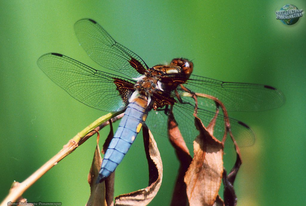 libellula-depressa_02-1
