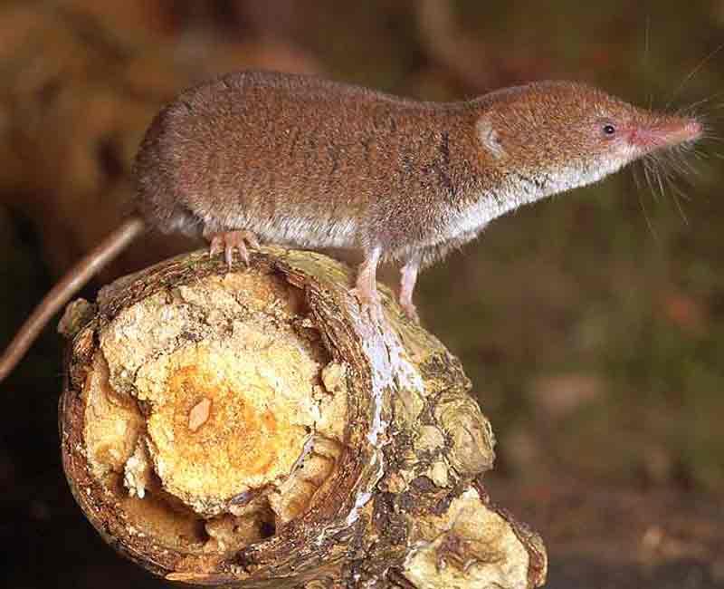 Малая белозубка (Crocidura suaveolens)