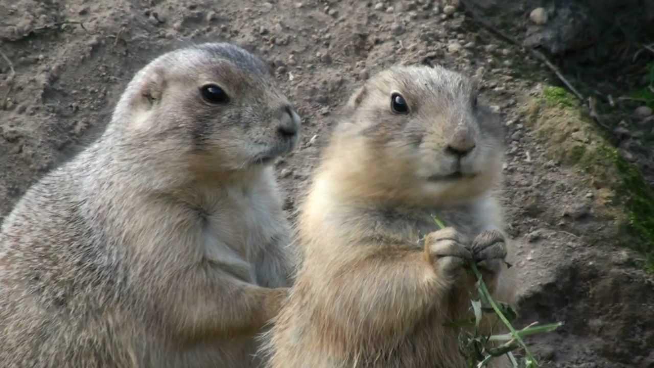 Сурок-байбак, или степной сурок (Marmota bobac)