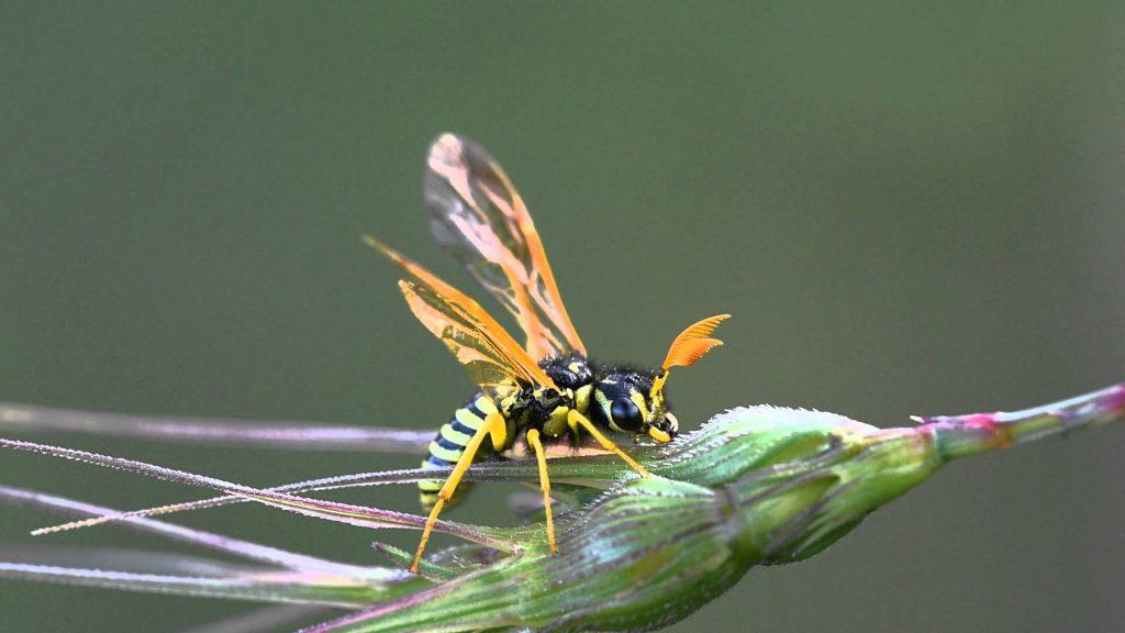 Подотряд Сидячебрюхие (Symphyta)