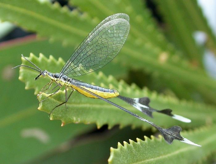 Отряд сетчатокрылые (Neuroptera)