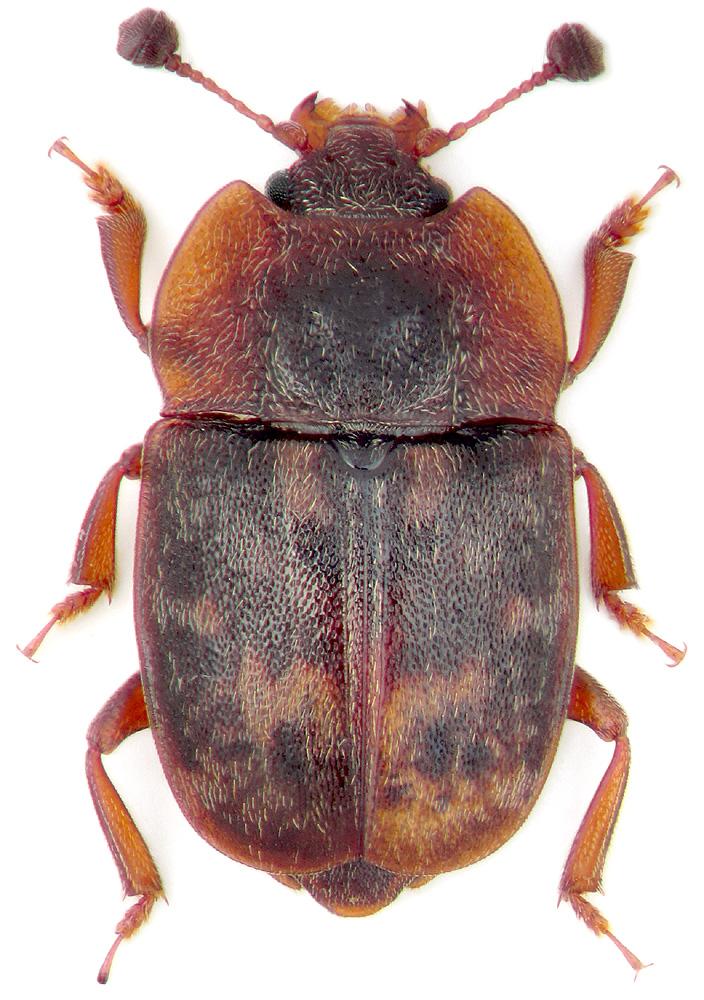 Жуки блестянки (Nitidulidae)