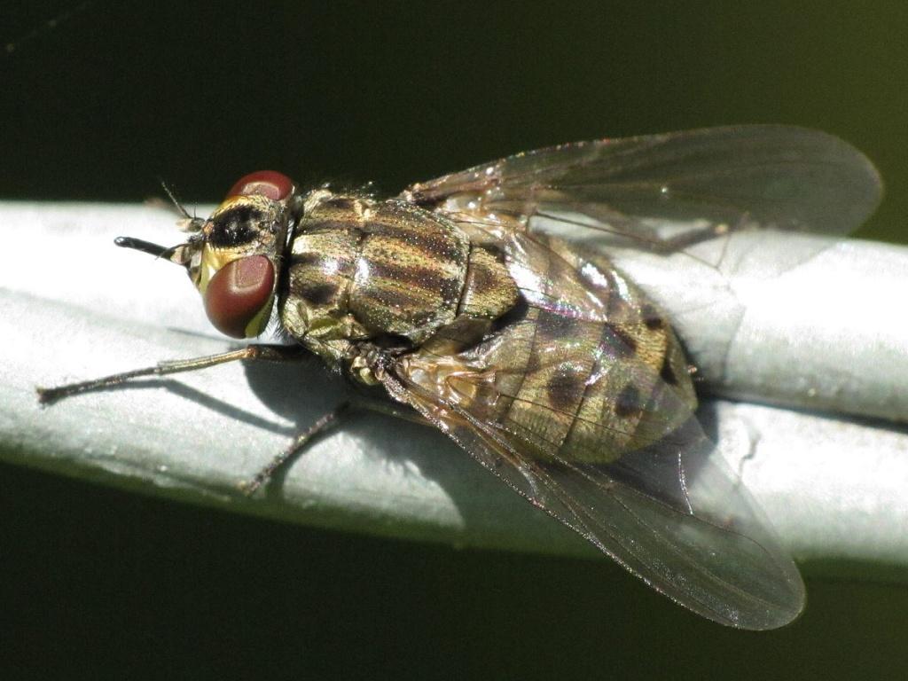 Семейство настоящие мухи (Muscidae)