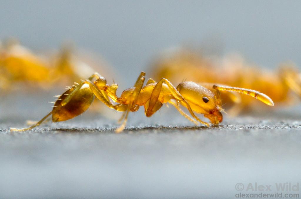 Подсемейство двухузелковые, или жалоносные, муравьи (Myrmicinae)