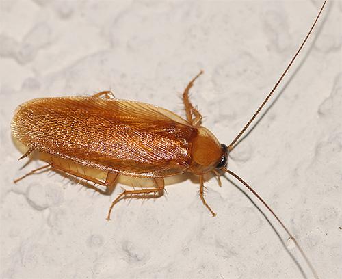 Семейство малые тараканы (Blattellidae)