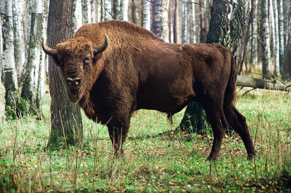 Зубр, или Европейский бизон (Bison bonasus)